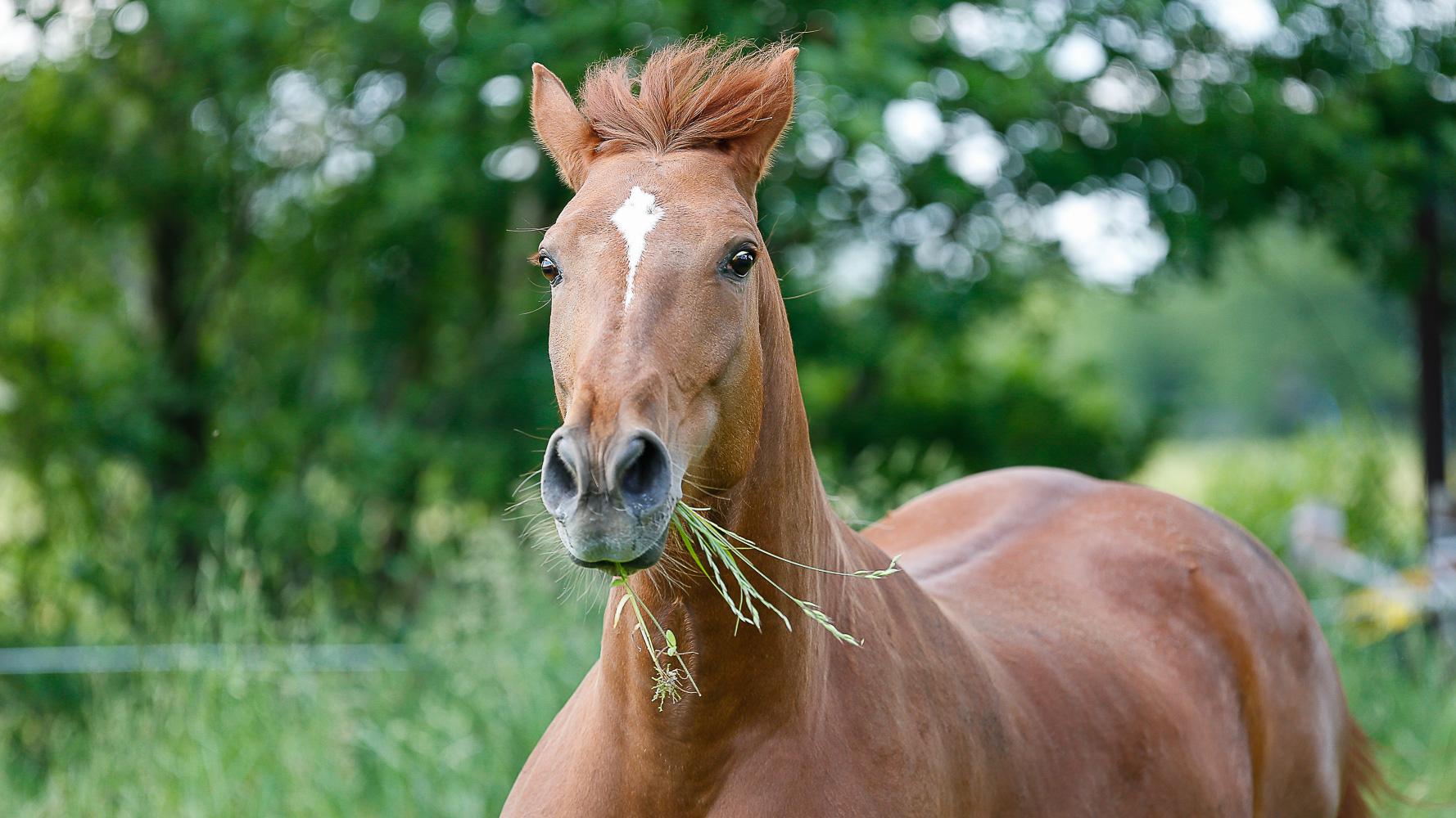 Grasfressen und Koppelgang sind fürs Pferd die natürlichste Futter- und Beschäftigungsform. Foto: Springfeldt, www.springfeldtprofifoto.com